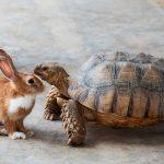 A saga dos coelhos e tartarugas